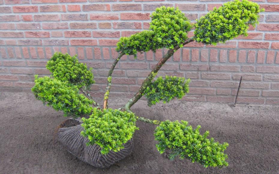 Taxus bonsai snoeivorm - Taxus Loverbos