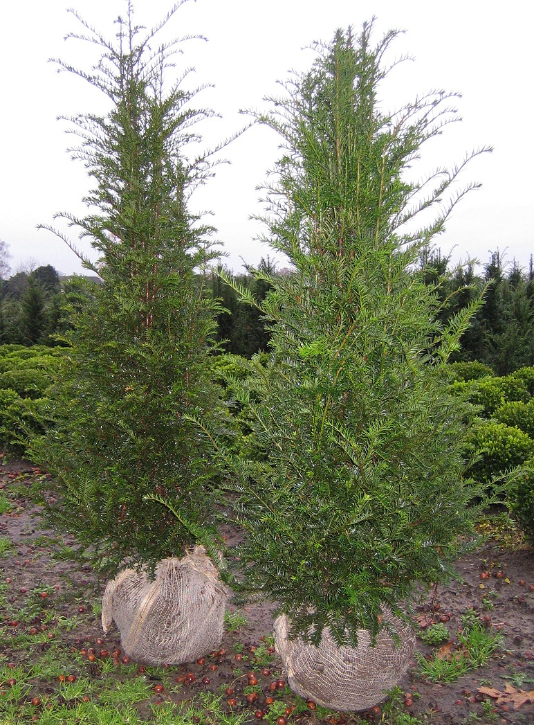 Taxus baccata haag planten - Taxus Loverbos
