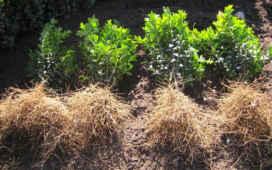 Buxus sempervirens haag planten - Taxus Loverbos