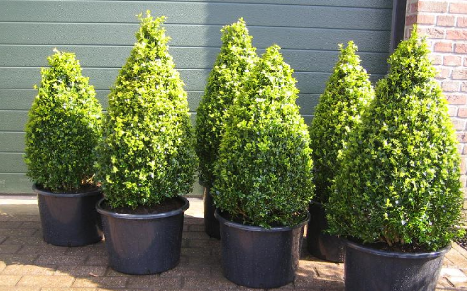 Buxus piramide of kegel - Taxus Loverbos